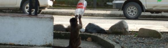 coke addict monkey